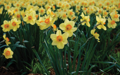 Daffodils Welcome Spring
